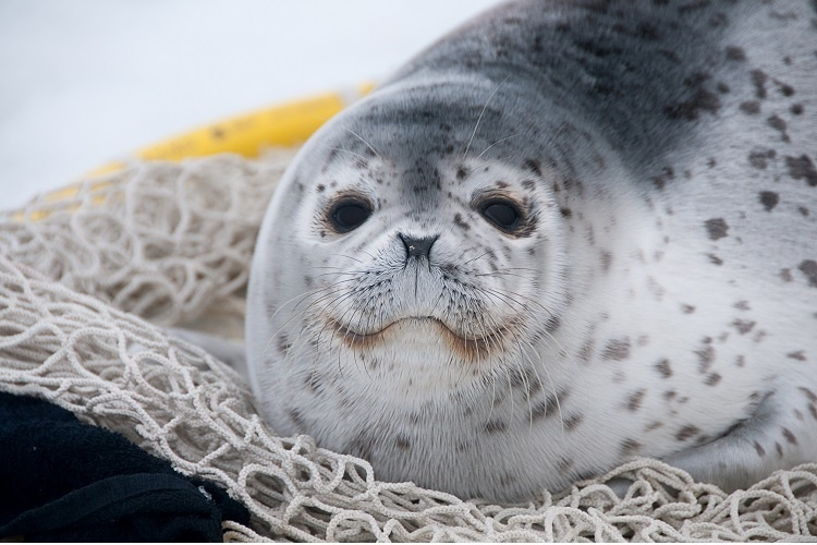 A spotted seal sits on a net.
