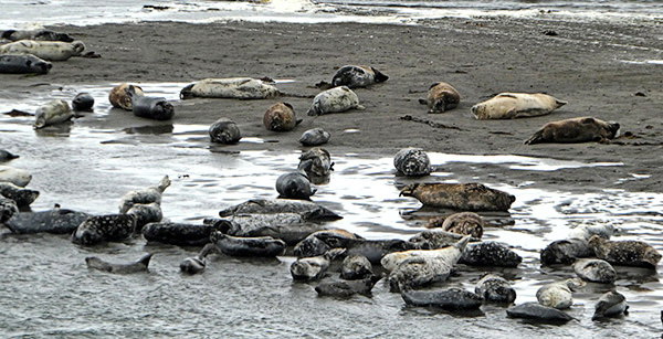 The science team counted more than 100 seals resting on the sand bar. Photo by Shawn Dahle