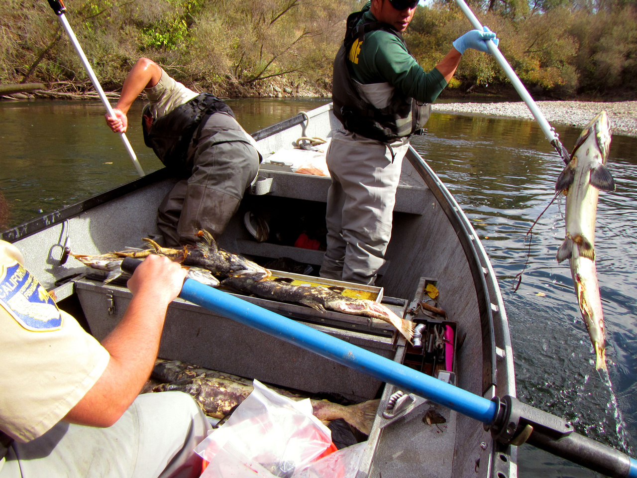 California Department of Fish and Wildlife biologists collect salmon carcasses for scientific study