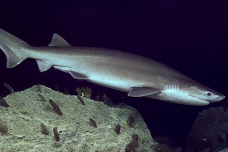 750x500-shark-swimming-NOAA-PIRO.jpg
