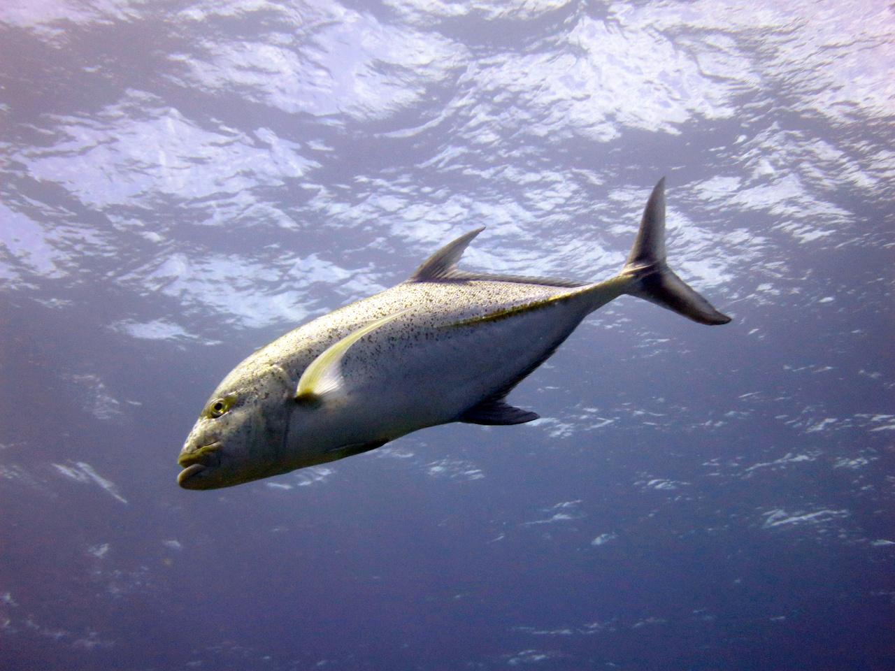 Bluefin trevally (Caranx melampygus) near Kahoʻolawe.