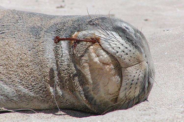 Hawaiian monk seal with a fish hook in its mouth.