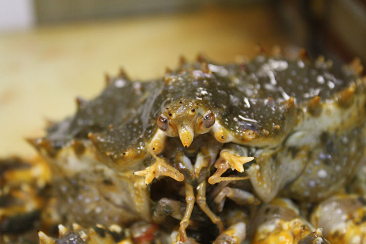 Close up of Blue King Crab mouth.