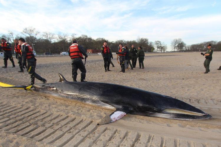 750x500_stranded_minke_whale.jpg