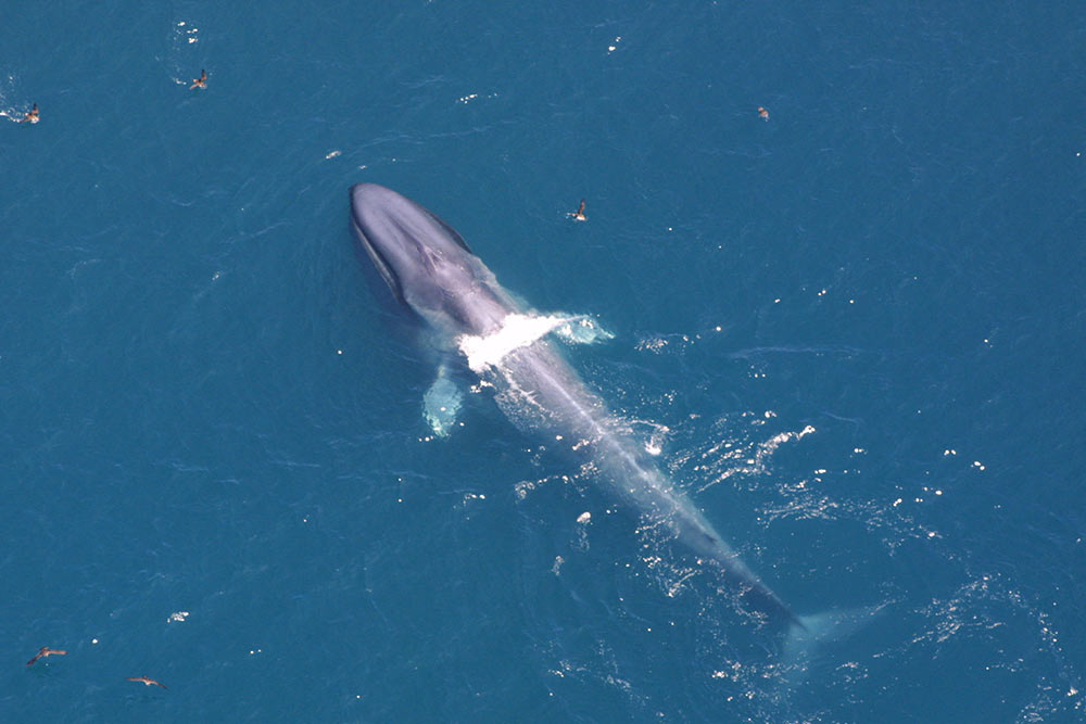 aerial image of a single blue whale