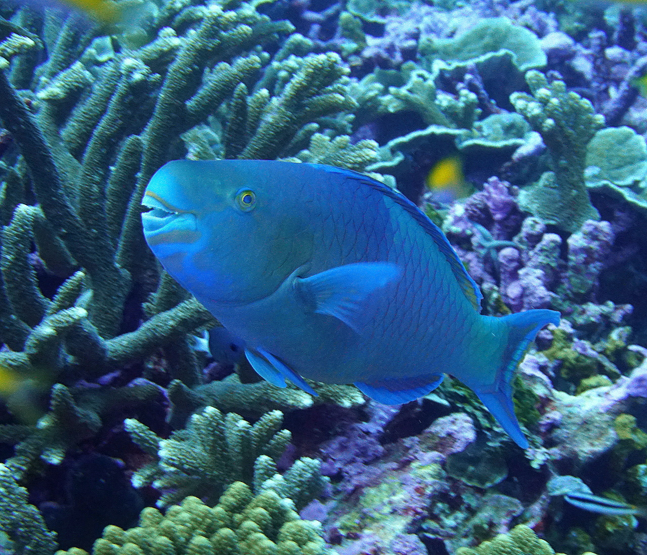 Parrotfish among corals.