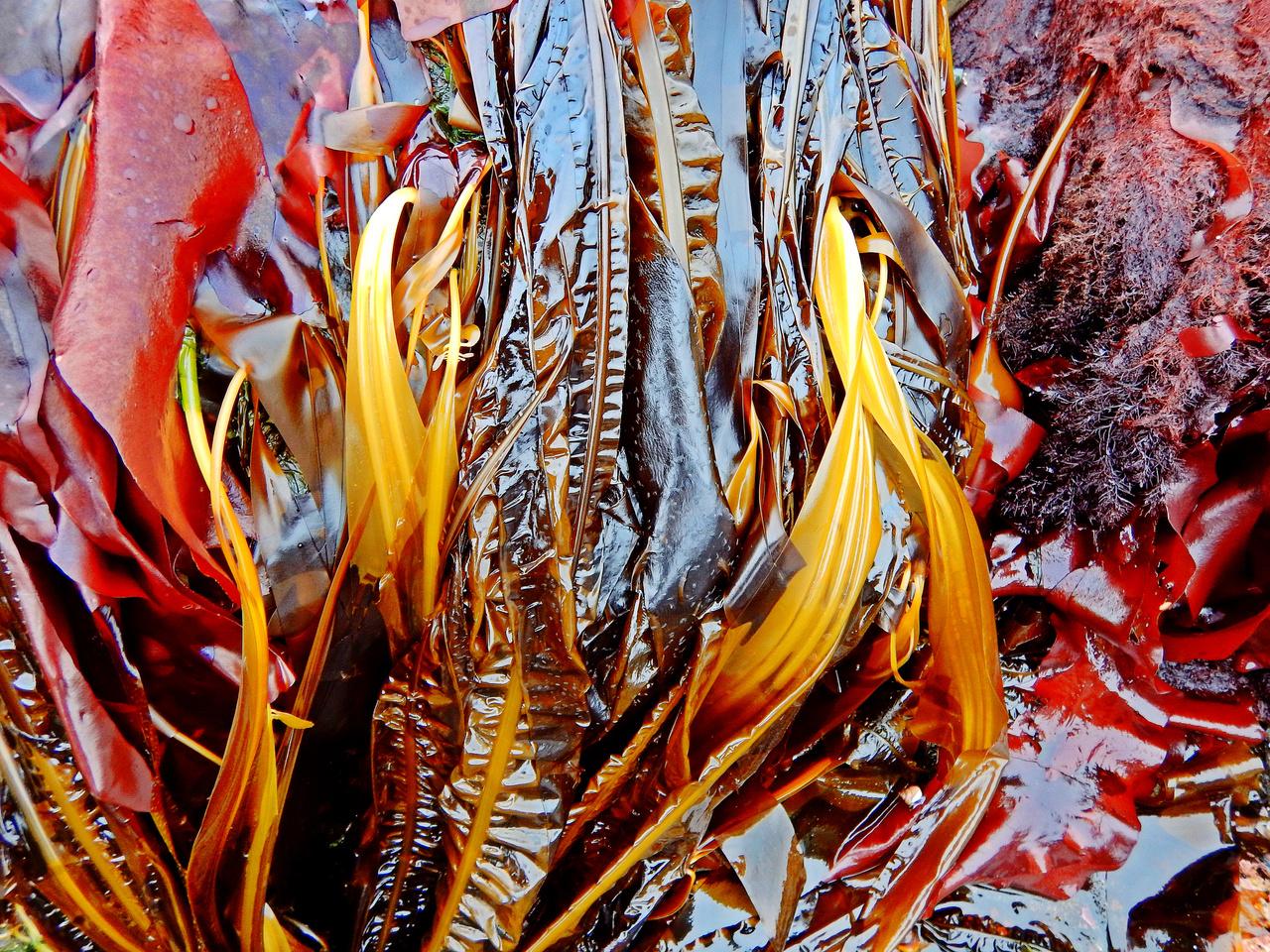 AKPeninsula_seaweeds_04-retouched.jpg