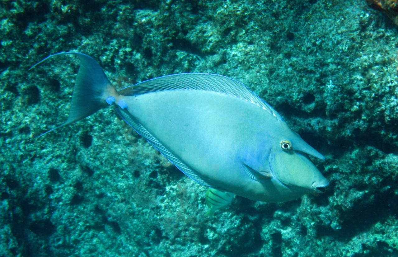 Tataga' or bluespine unicornfish (Naso unicornis) is a shallow-water reef fish found around Guam. This species of unicornfish is important in artisanal and commercial fisheries throughout the Pacific Islands.
