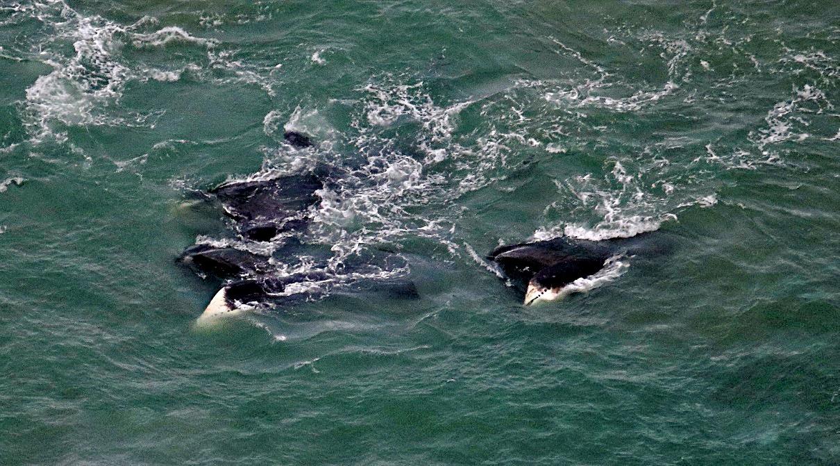 Feeding bowhead whales. Photo taken by: Vicki Beaver, NOAA/NMFS/AFSC/MML