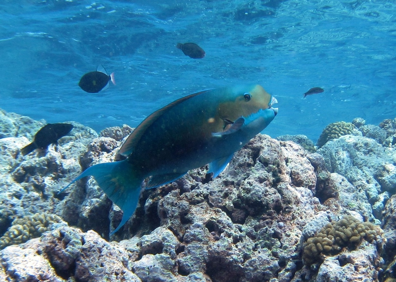 A large steephead parrotfish, or laggua (Chlorurus microrhinos) near Tumon Bay, Guam.