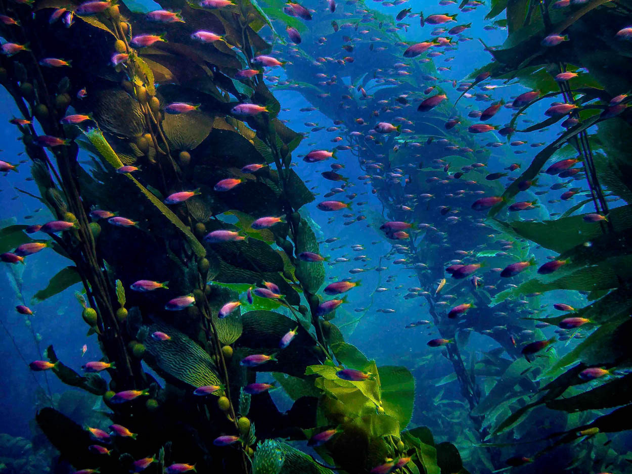 The kelp forest in California serves as a nursery for many species of fish, including these juvenile blacksmiths.