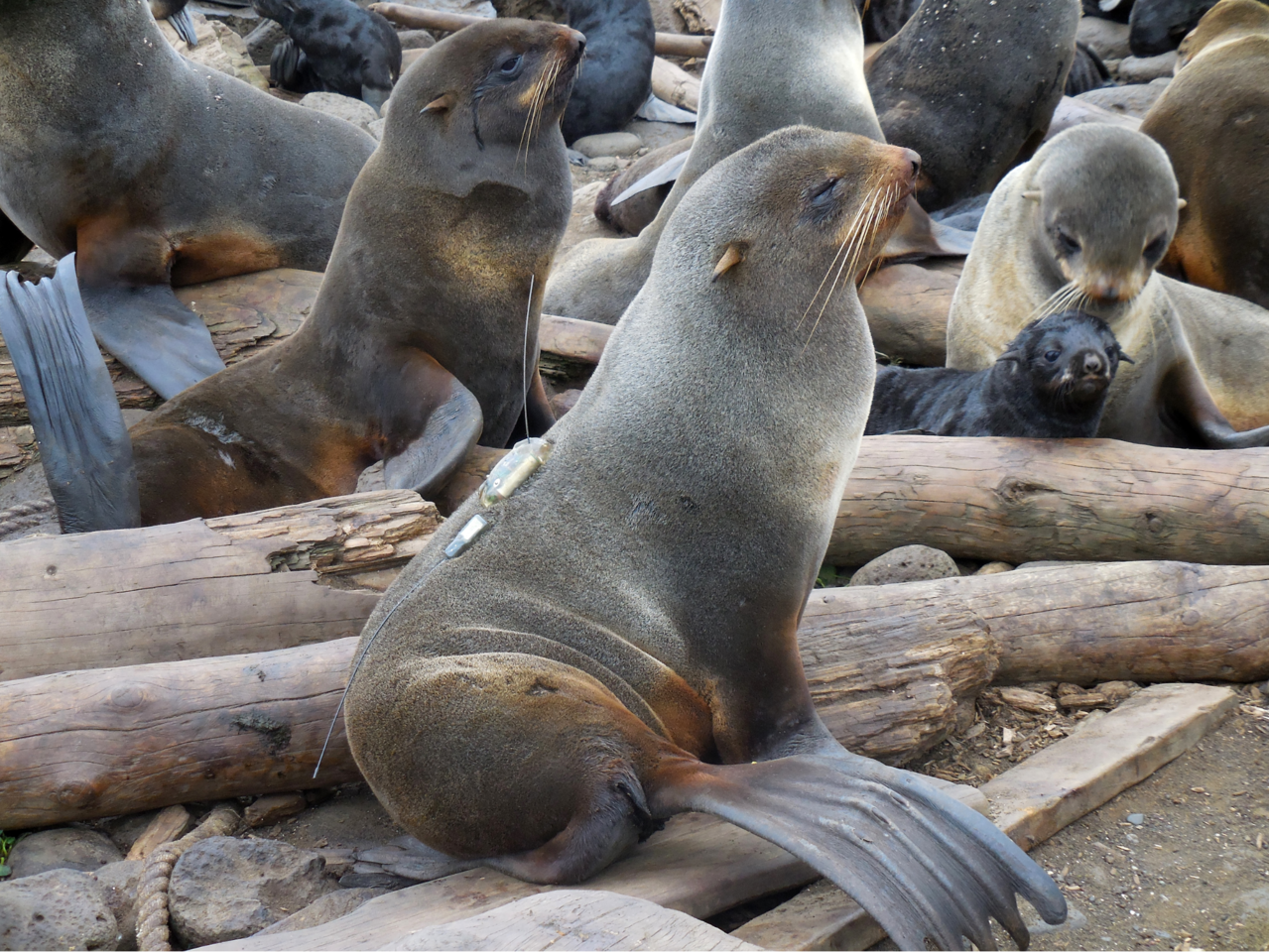 A female northern fur seal equipped with a satellite tag that will transmit her location at sea.