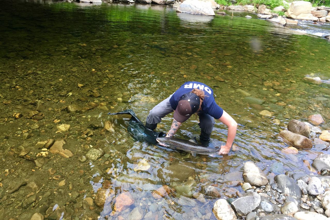 Girl releasing salmon in river.