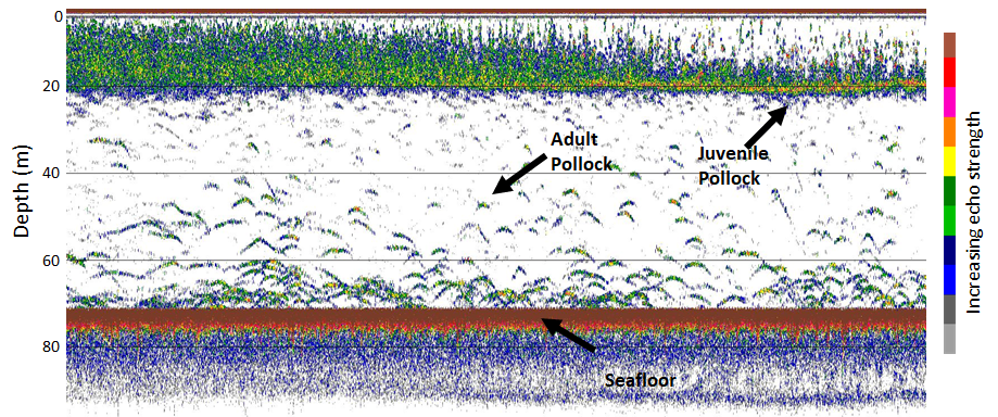 Example of saildrone echosounder record. Juvenile pollock are near the surface, while adults are near the seafloor.