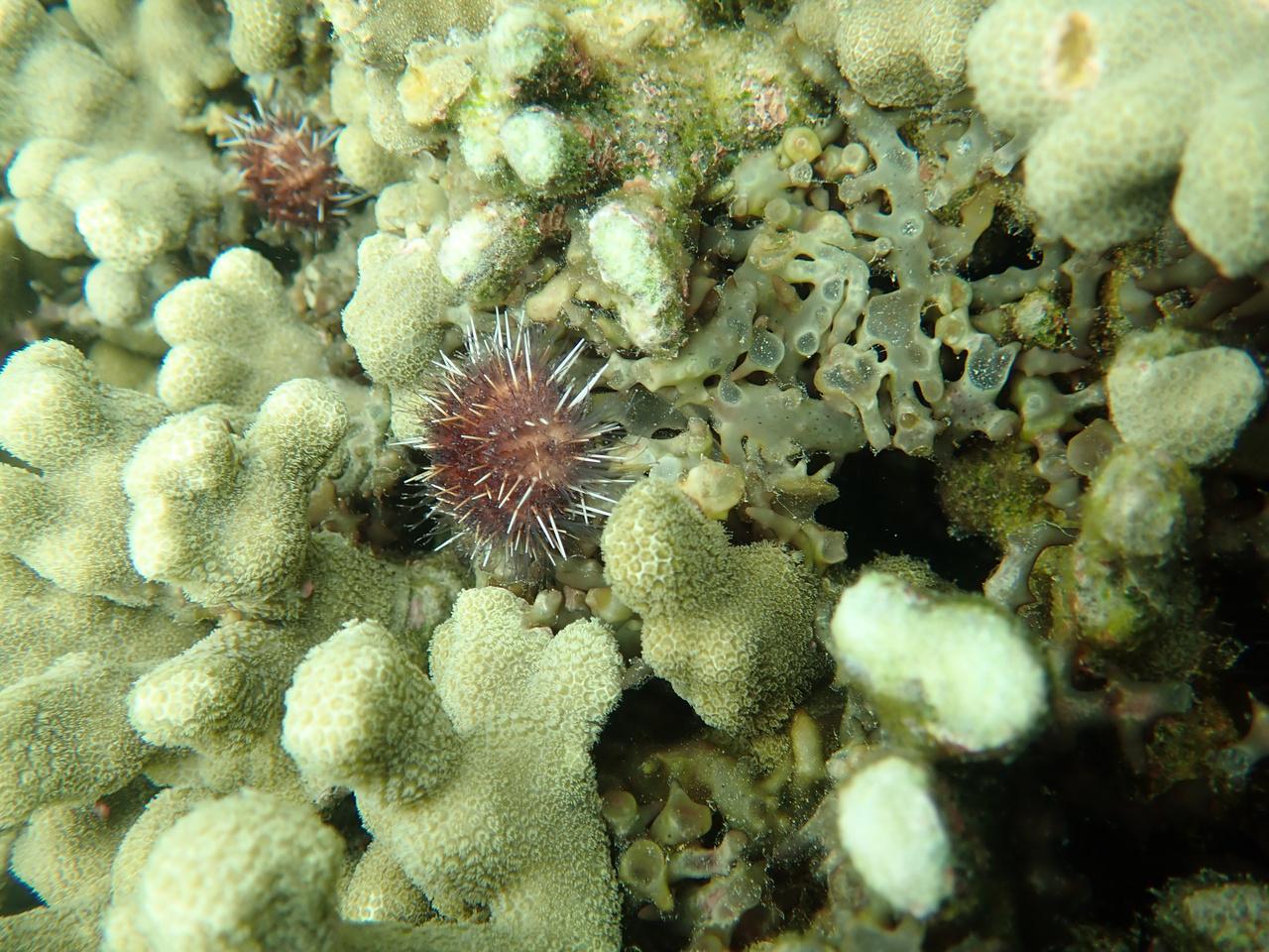 Cape Flattery Coral Restoration Sea Urchin Algea Eaters 4000x3000 NOAA Fisheries Matthew Parry.jpg