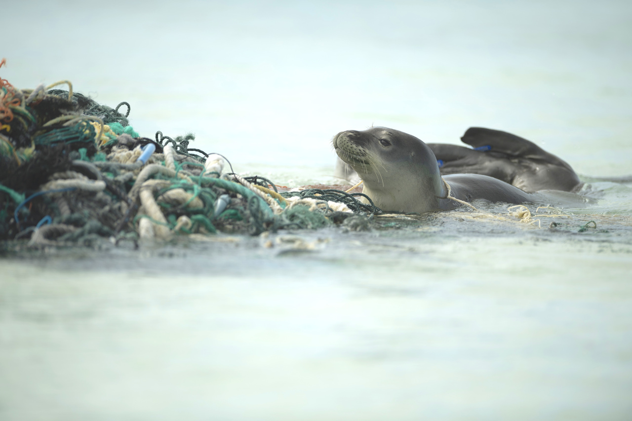 Young monk seal pup investigates derelict fishing net