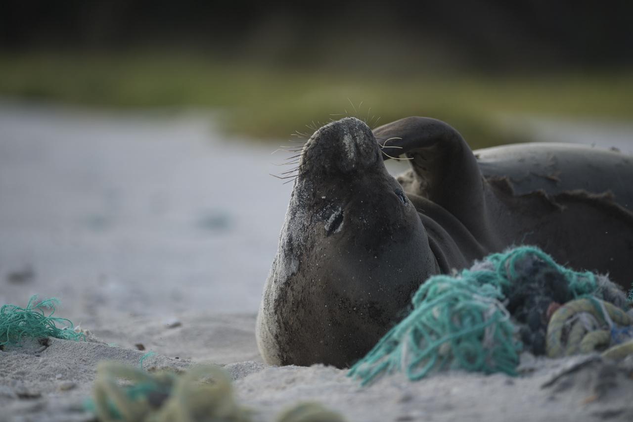 Hawaiian monk seal on derelict fishing net