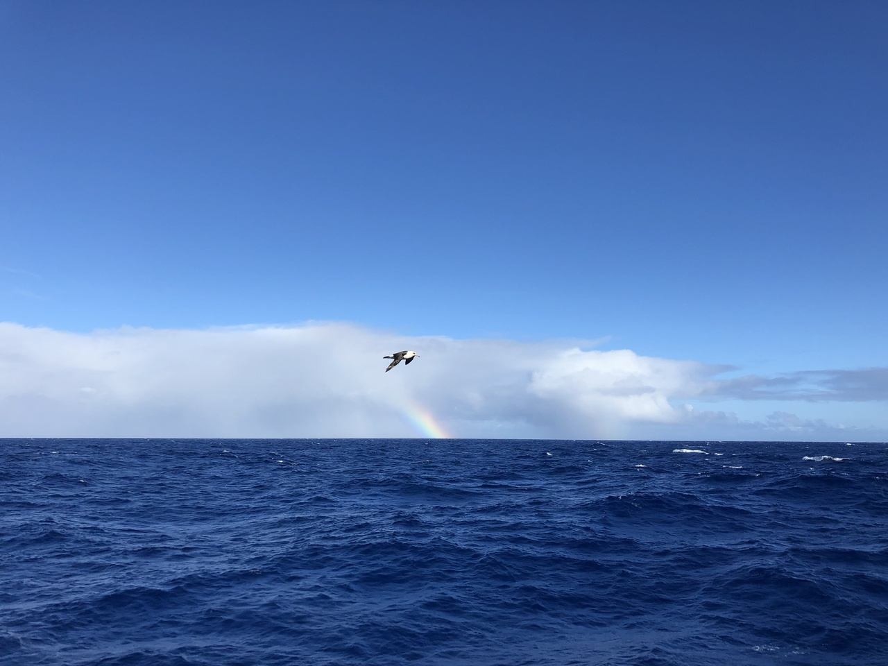The Sette was visited by Laysan Albatross trying to catch a draft off the ship. Photo: NOAA Fisheries/Marie Hill.