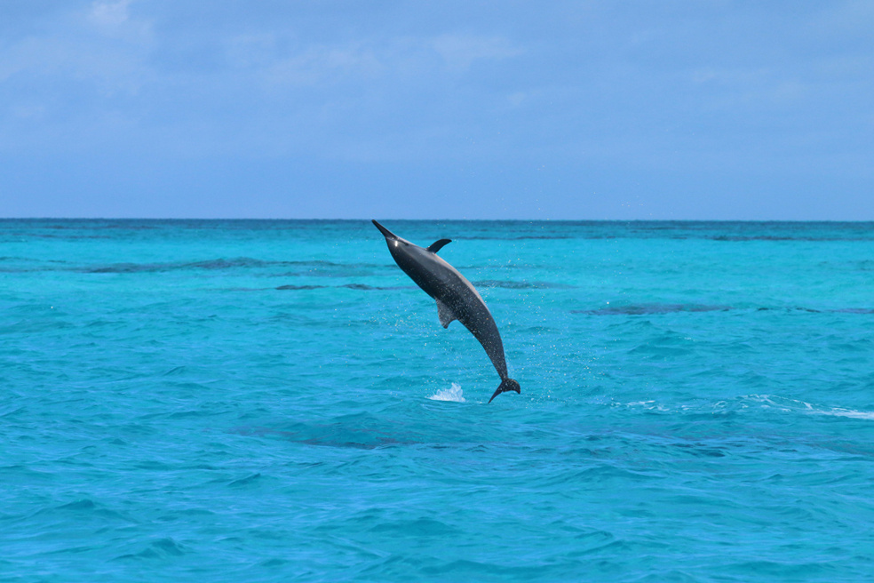 Spinner dolphin in air.