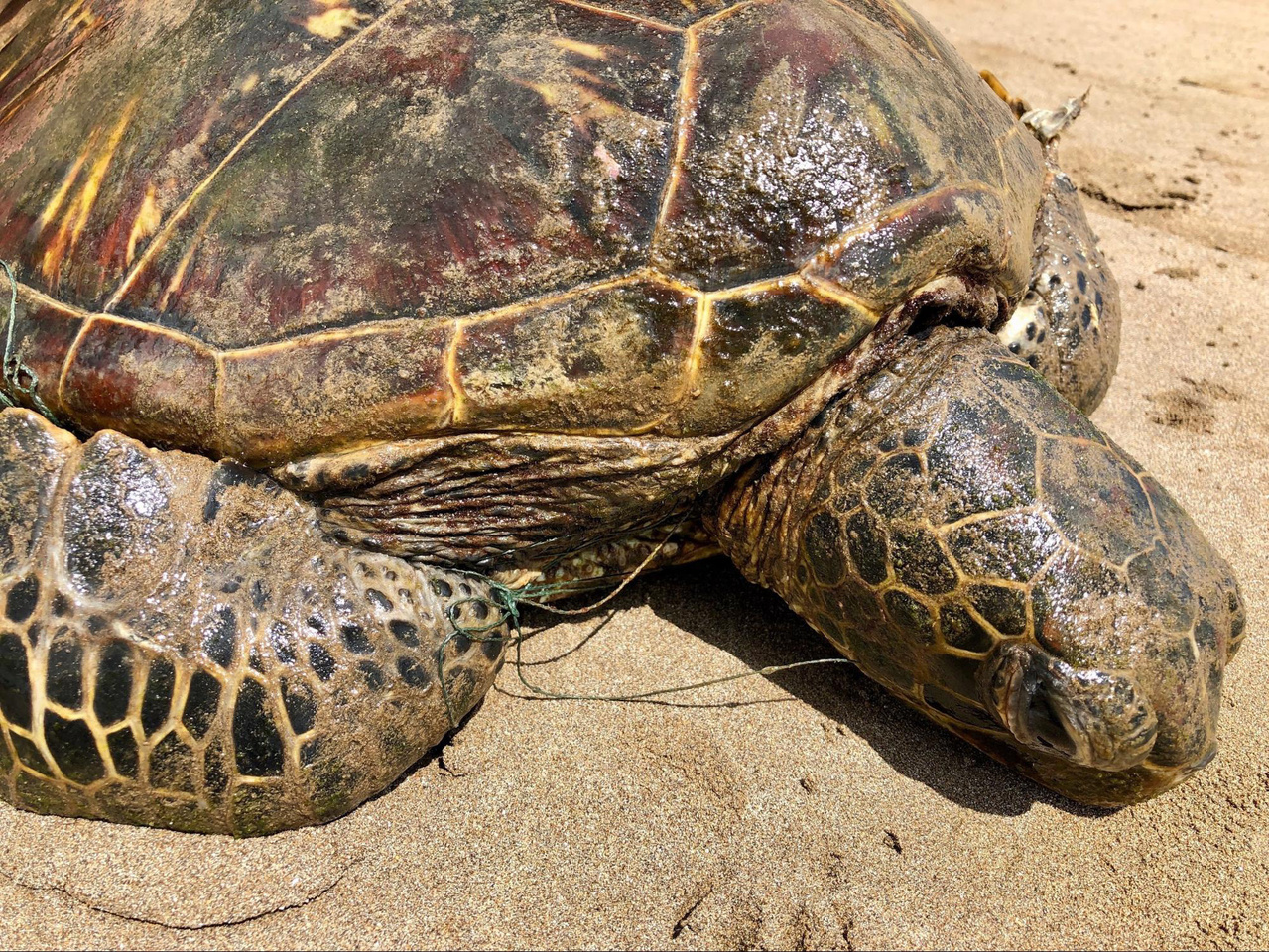 Photograph of turtle entangled in fishing line.