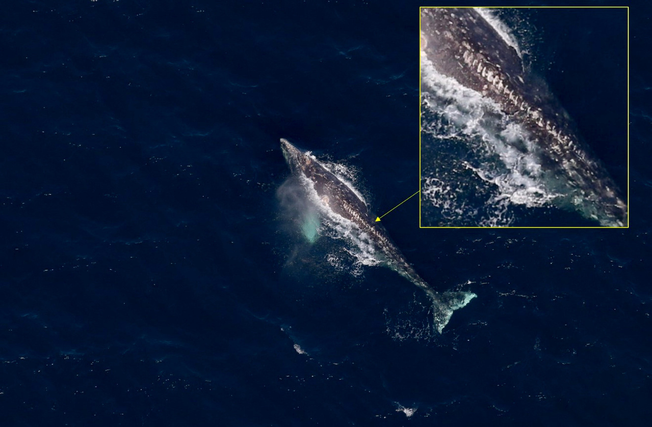 This gray whale, sighted in the northeastern Chukchi Sea by ASAMM in 2019, has noticeable scars from the propeller of a small recreational vessel.