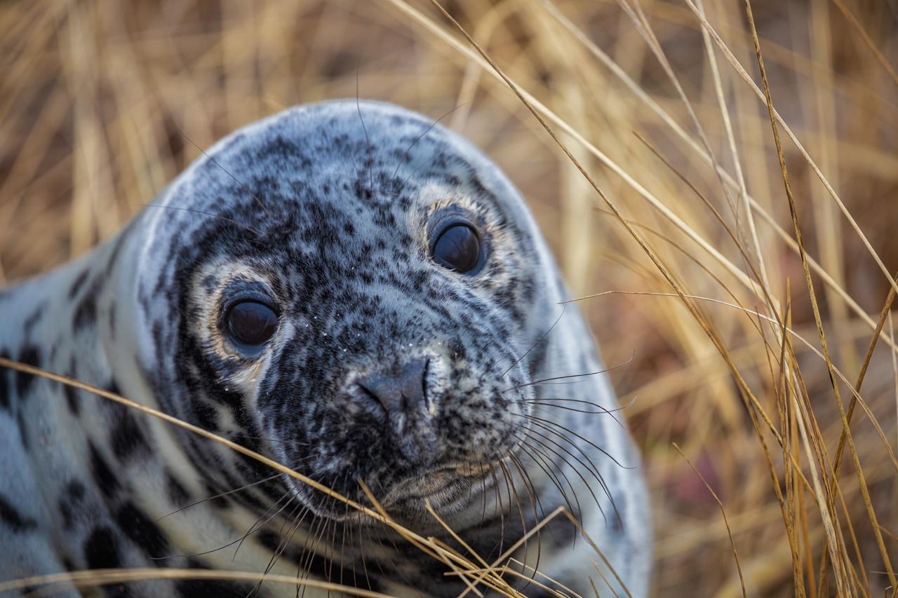 gray seal pup up close