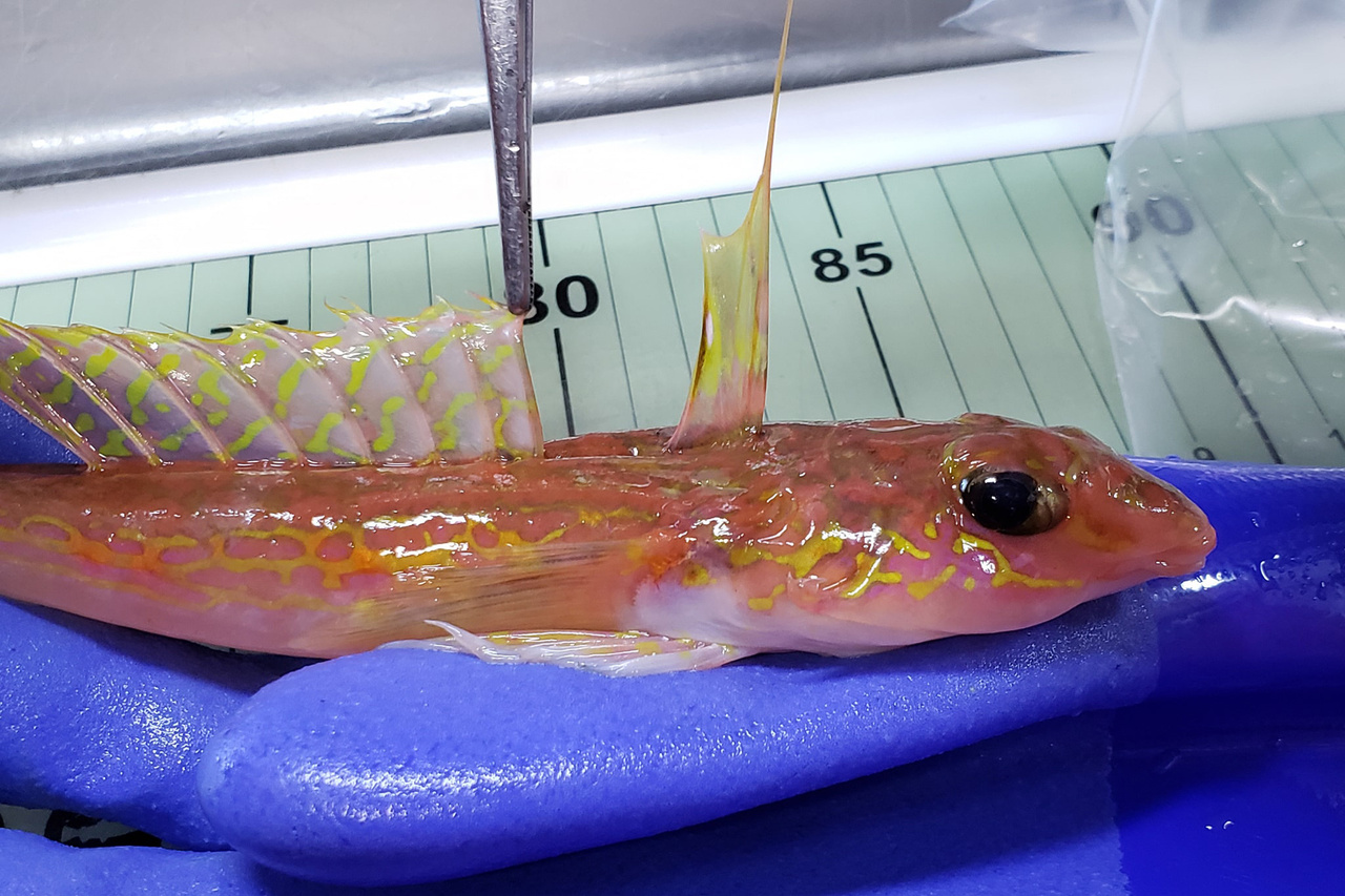 A slender pink fish with spiky yellow fins along its back held in a sampler's gloved hand
