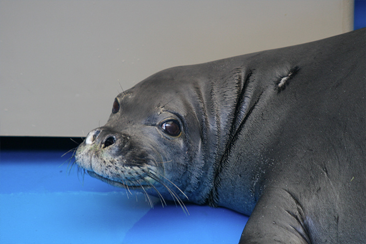 Close-up picture of KE18 monk seal.