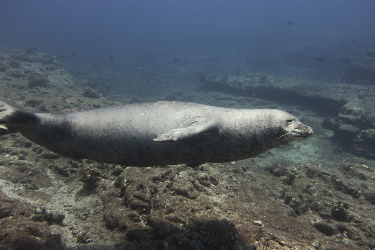 """This large, male Hawaiian monk seal came up close to greet our divers as they started their coral surveys on the underwater slopes of Lehua Crater. Over the course of our 2 days at Ni'ihau, we spotted more than 15 monk seals along the beaches and waters of this """"Forbidden Isle.""""  <br><i>Photo: NOAA Fisheries/Mollie Asbury </i>"""