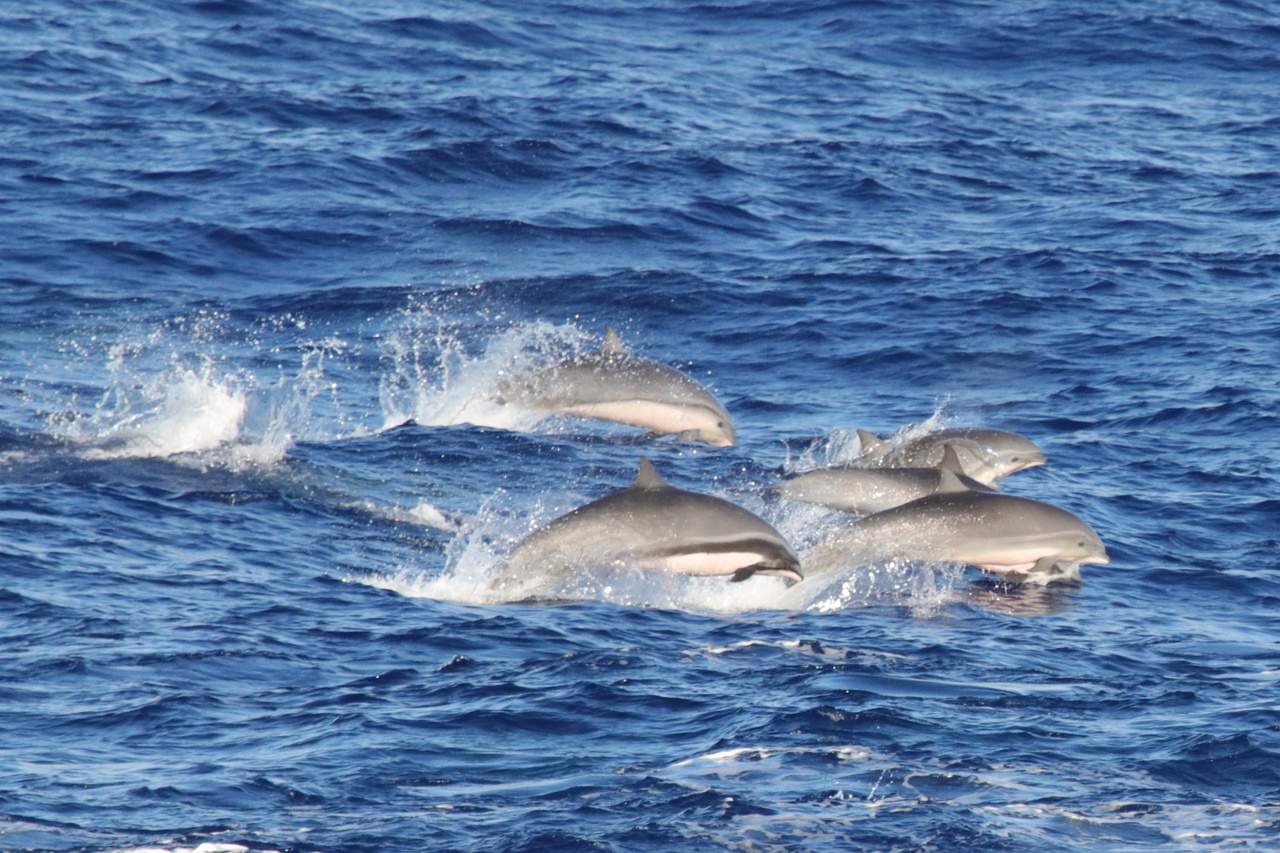 We rarely see Fraser's dolphins. Some of our observers have sailed for years without seeing them! This photo shows one adult male (dark stripe) with several subadults. Photo: NOAA Fisheries/Allan Ligon.
