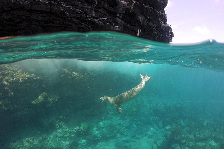 Hawaiian monk seal swimming near a rock cliffs over a coral reef bottom.