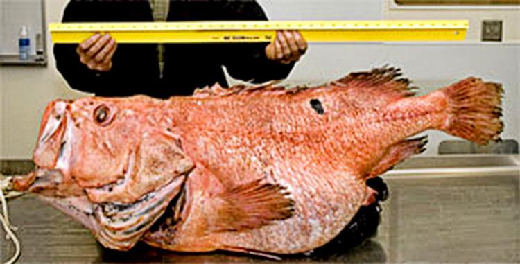 MESA_Shortraker_Rockfish2.jpg