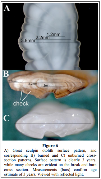 Age and Growth Information, the great sculpin Otolith cross section