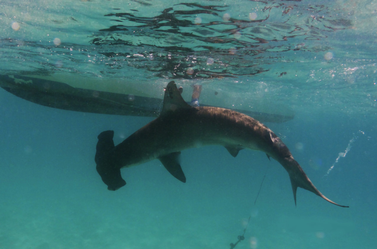 A scalloped hammerhead shark is released after being equipped with a satellite tag that will collect water temperature and depth