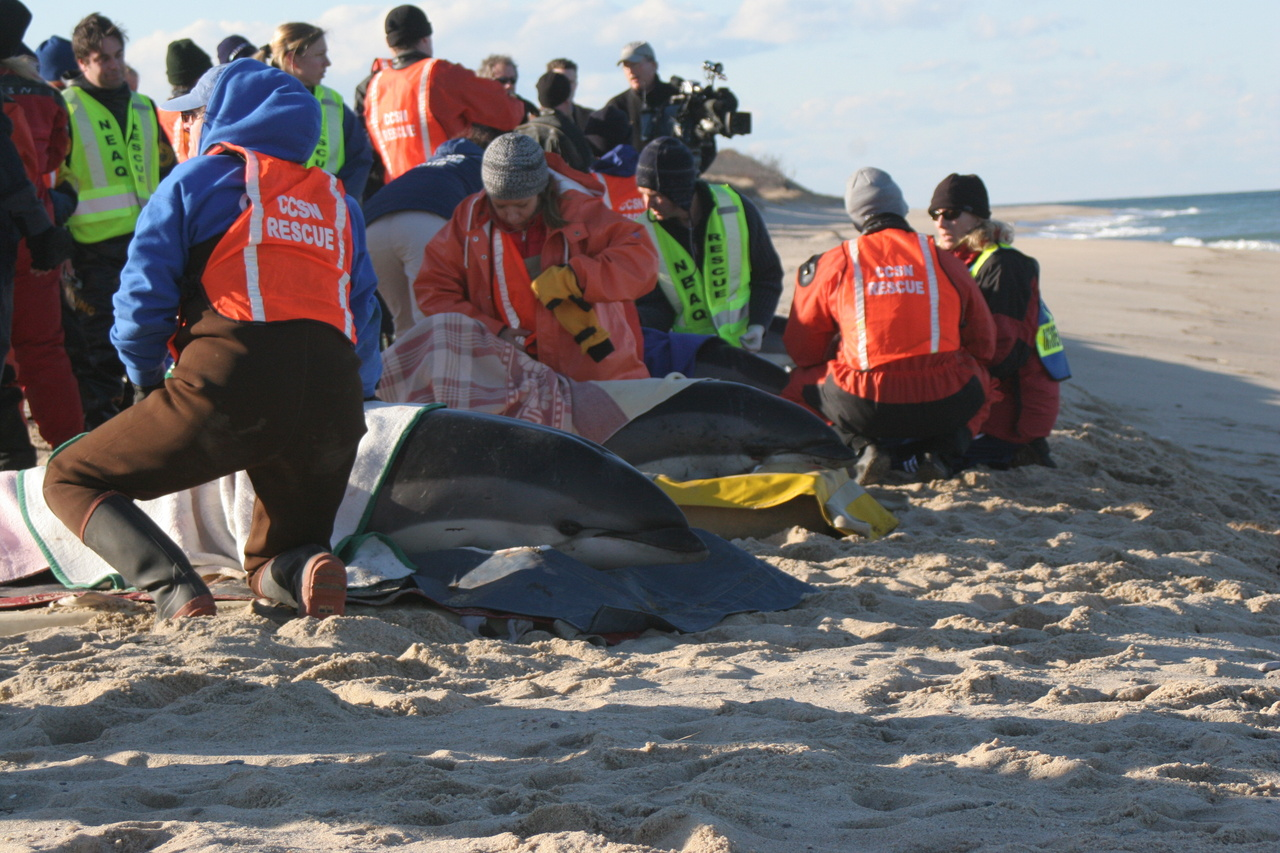 Responders assess a group of white-sided dolphins during a mass stranding event.Photo courtesy ofInternational Fund for Animal Welfare.