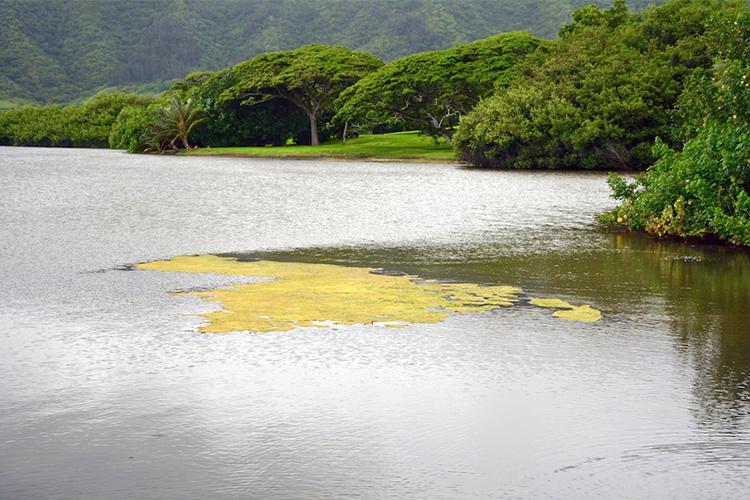750x500-algae-patch-NOAA-PIRO.jpg