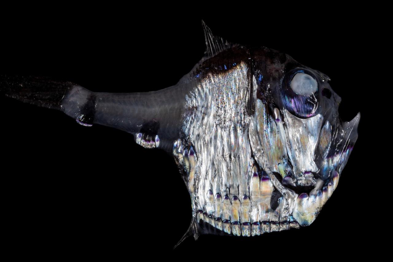Half-naked hatchetfish