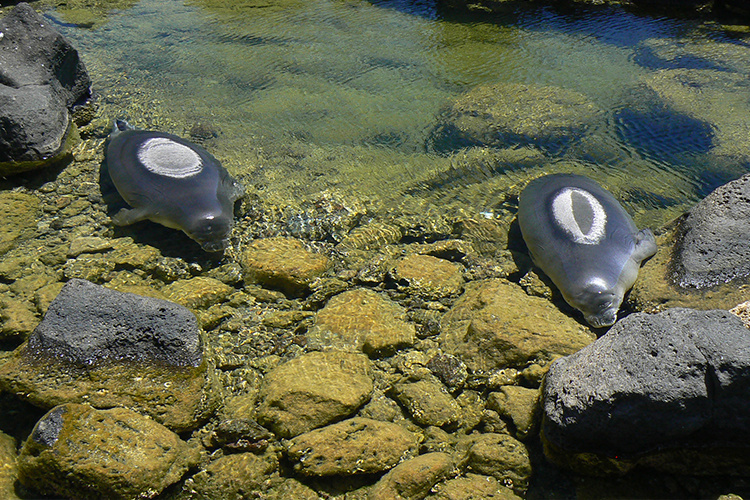 Two Hawaiian monk seals resting in shallow tide pools.