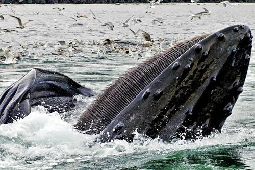 500x333-AlaskaHumpbackWhaleImage2.jpg