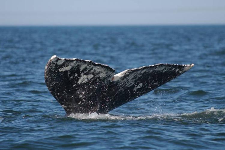 750x500-graywhale-fluke.jpg