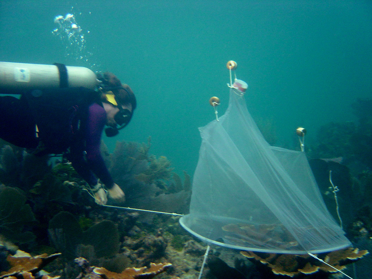 Spawning collection efforts being conducted by divers.