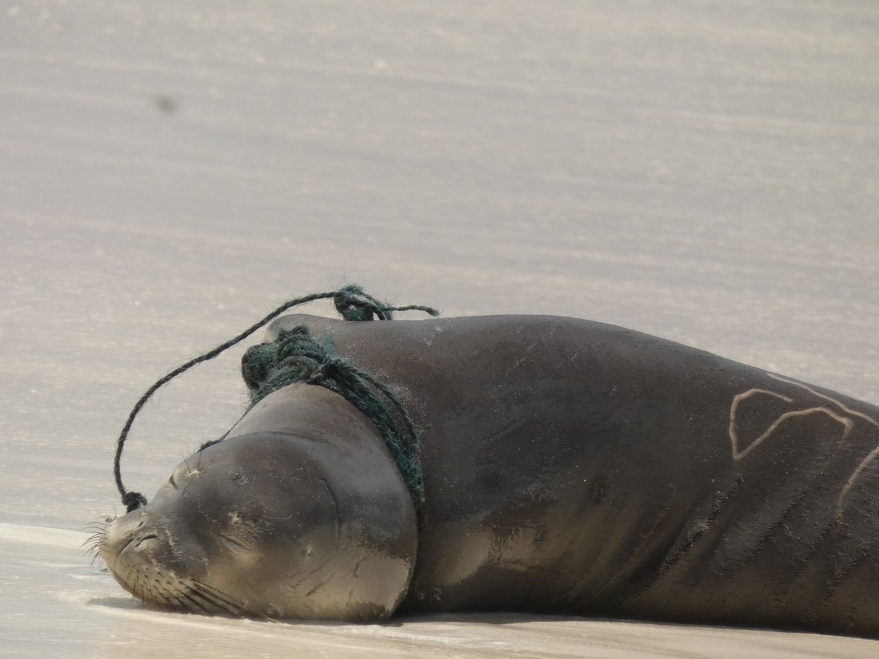 Seal with rope wrapped around neck.
