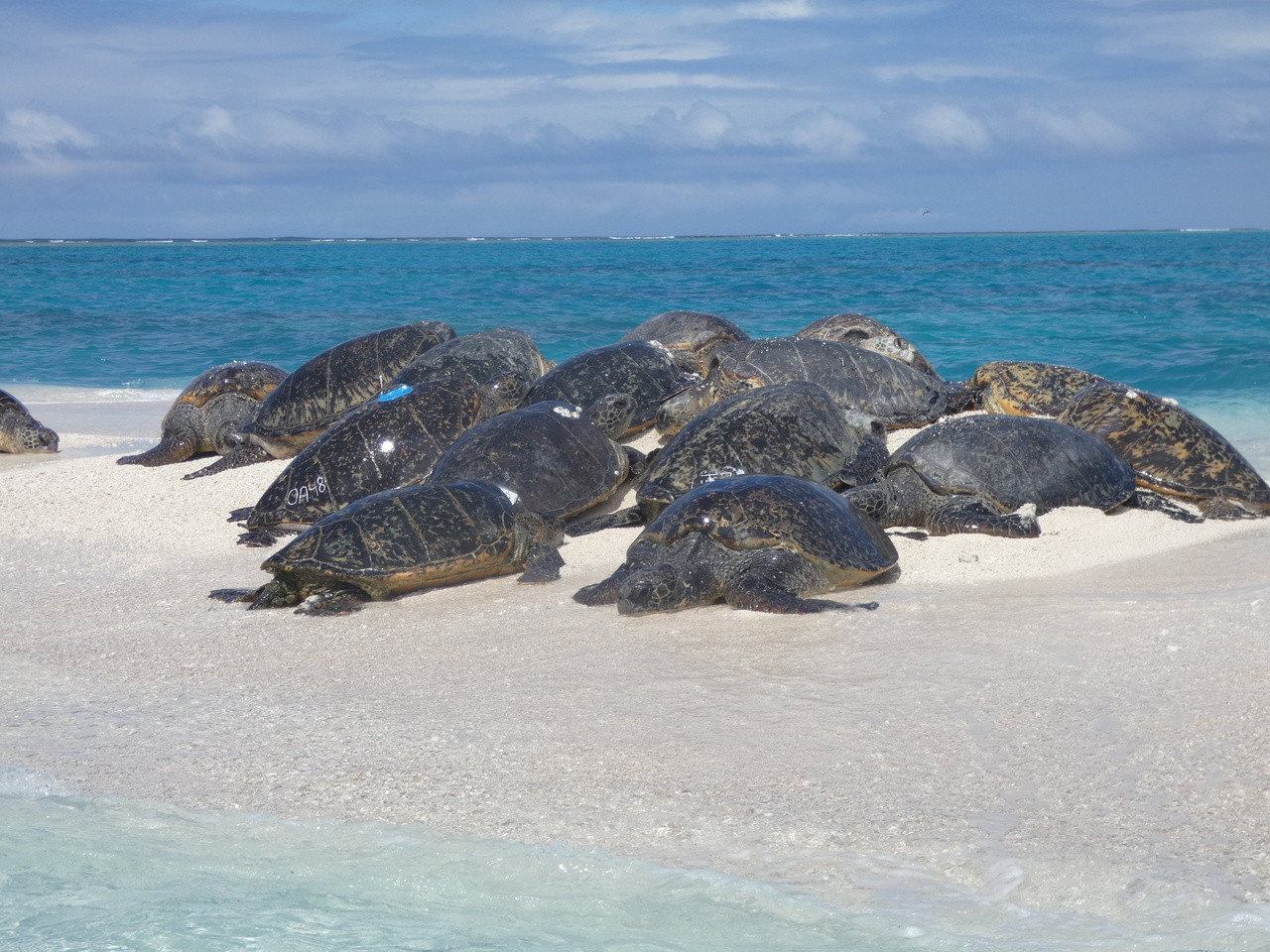 Motherload and other sea turtles basking on Trig Island, French Frigate Shoals, in the Northwestern Hawaiian Islands.