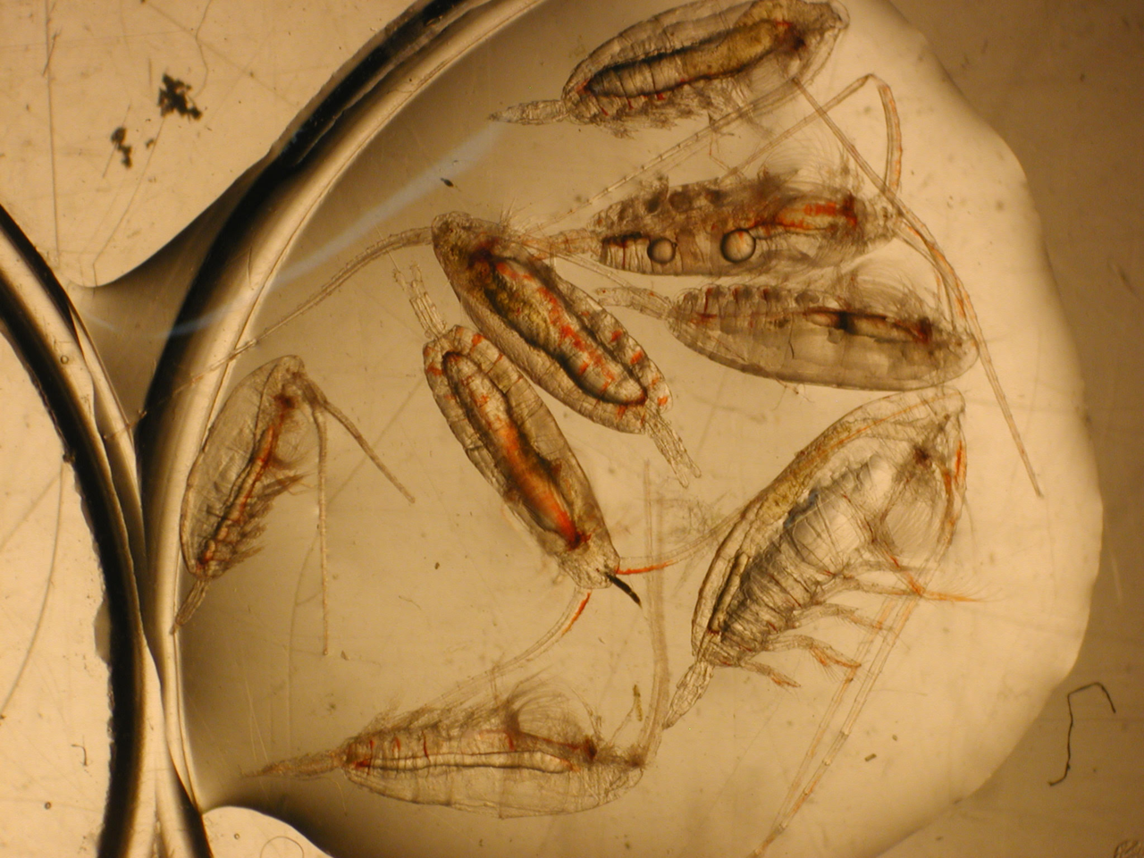 The copepod species Calanus glacialis prepares for winter by storing lipids,.png