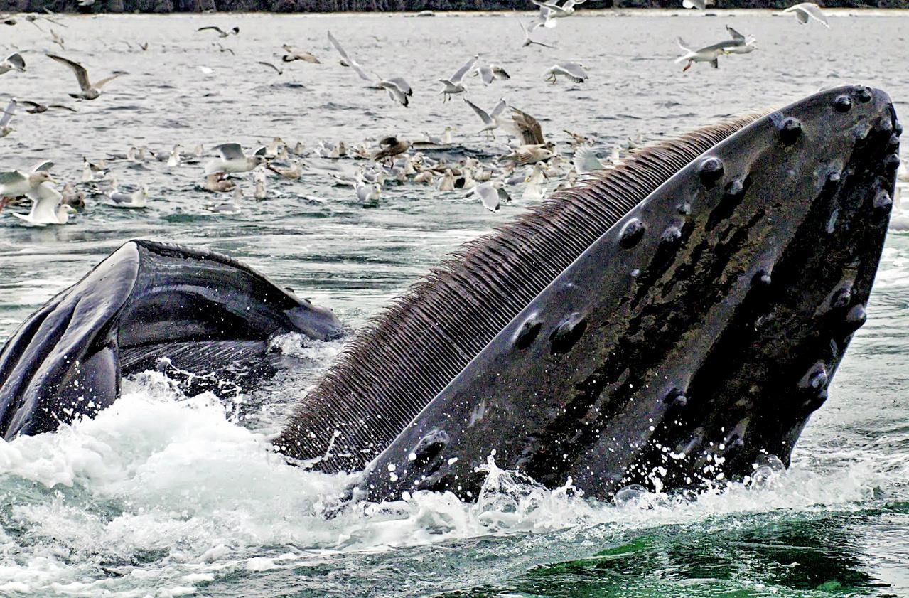 Feeding Humpback whale.