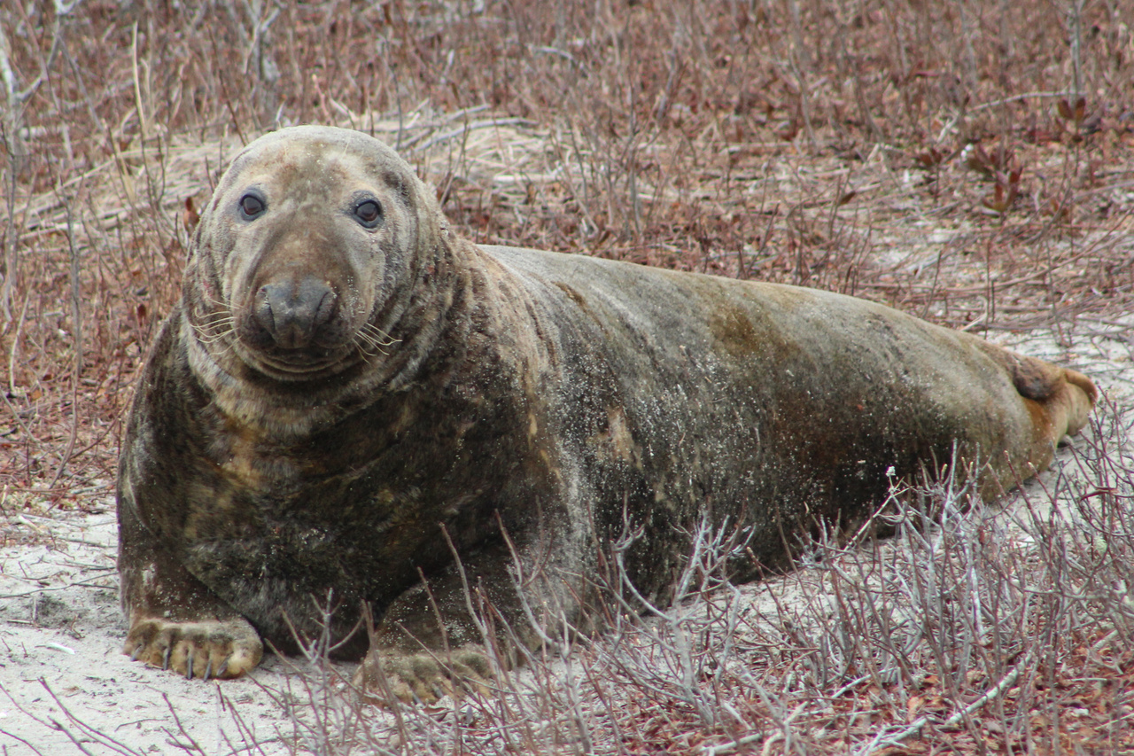 gray-seal-NEFSC.jpg