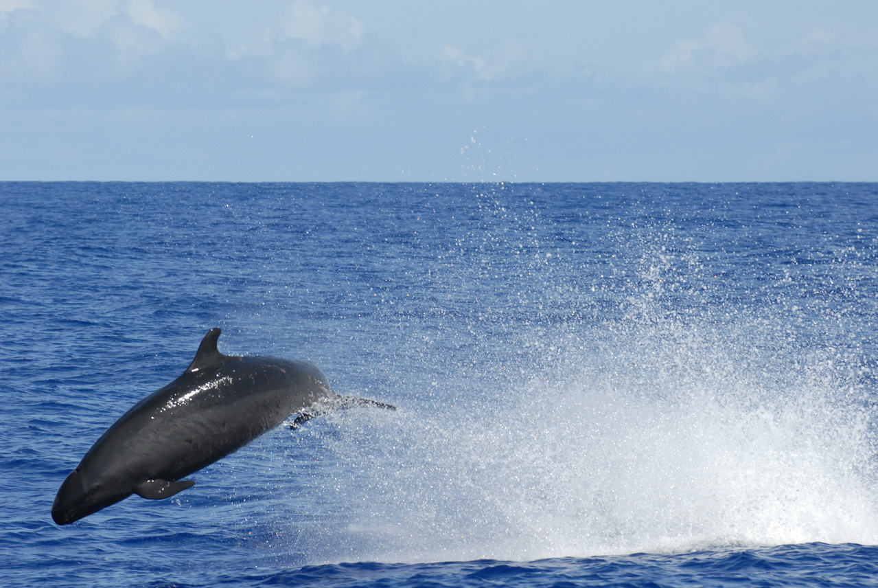 False killer whale jumping out of the water.