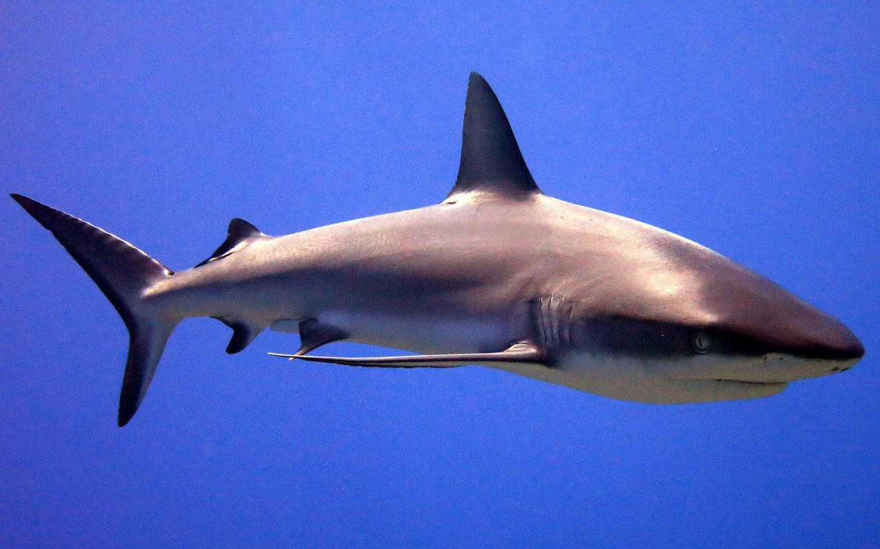 Grey reef shark swimming underwater.