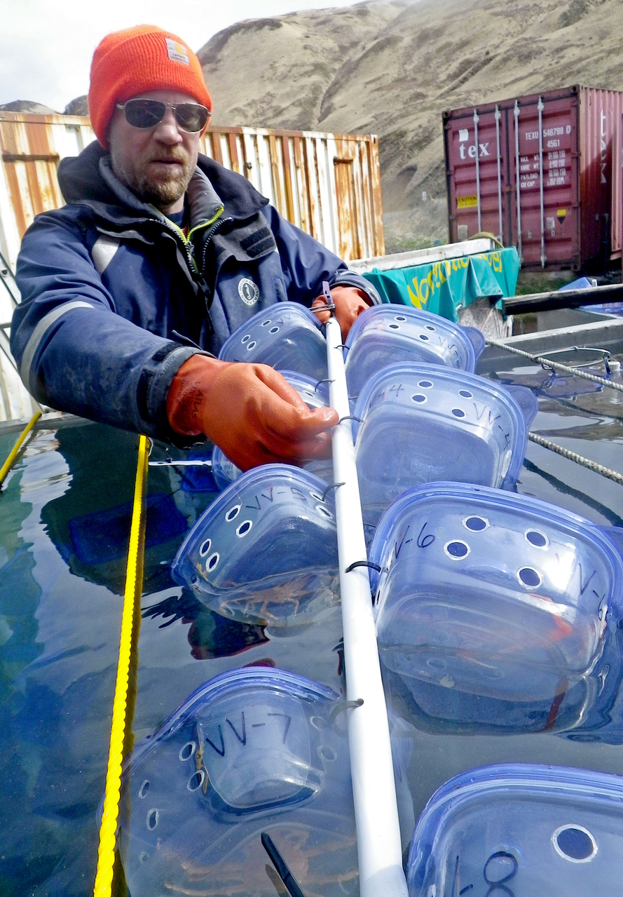 Jeff Cox (Bering Sea Fisheries Research Foundation) removing crab condos from the tank. To measure a crab that has molted, Jeff is removing a condo tree from the tank. The new-shelled crab will be removed from its condo and then the condo tree will be returned to the tank. The crab will be measured and the data recorded for later analysis, providing information on crab growth rates for use in stock assessment models. These are models that predict the size and age distribution of the crab populations and allow us to estimate the amount (biomass) of crabs that the fishery can remove without overfishing.
