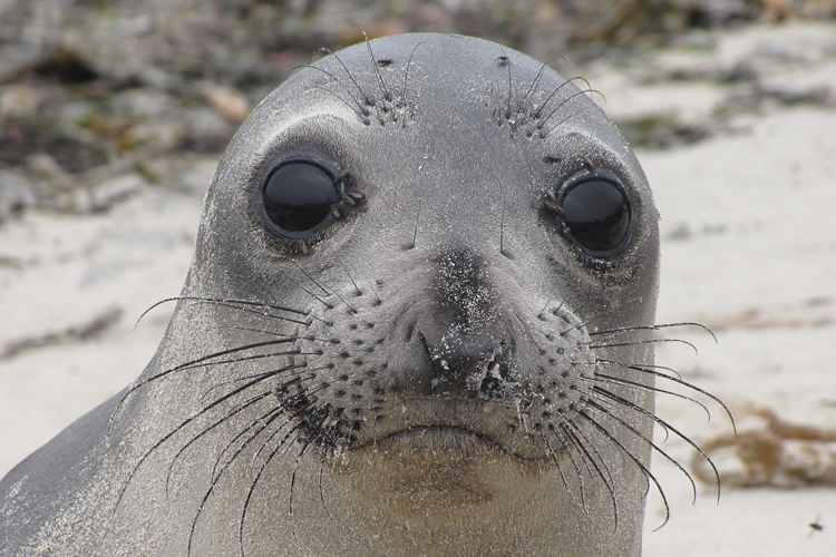 750x500-northern-elephant-seal-juvenile.png